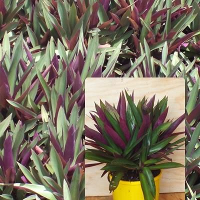 Rhoeo spathacea compacta Short-stemmed tender foliage groundcover which makes attractive small, dense, spreading clumps. Very hardy and drought tolerant. Purple and green foliage. H 15cm