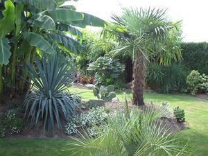 Trachycarpus fortunei, le palmier à chanvre