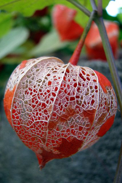 Physalis alkekengi, most people know as a Japanese or Chinese Lantern, protects the treasure within.