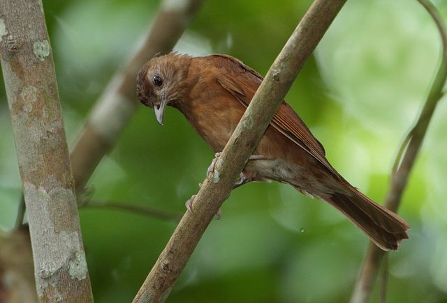 Foto sabiá-da-mata (Turdus fumigatus) por Anselmo d`Affonseca: