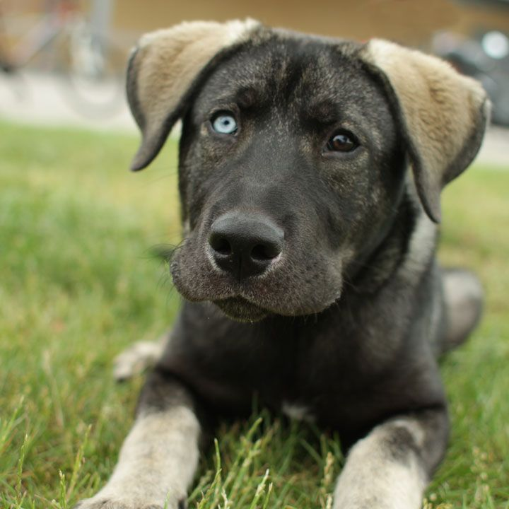 Ghost - German Shepherd mix-- What an amazing looking dog!