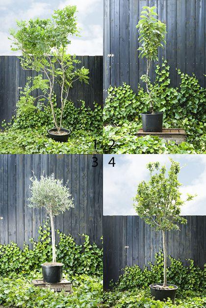 Verschillende kleine bomen in pot (2 = malus domestica benoni; kleine zoetzure handappel...)