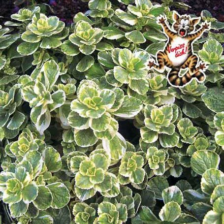 Bunte 'Verpiss-Dich' Pflanze - Aufrechte Sommerpflanzen