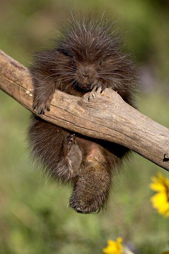 PORCUPINES.....found in America, Africa, Europe and Asia in deserts, grasslands or forests...a weight of 11.90 – 35.27 pounds, a length of 25.20 – 35.83 inches, and a tail of 7.87 – 9.84 inches ....good swimmers...the North American porcupine has over 30,000 quills....may be as dense as 150 quills per square inch.....can climb trees....a family of porcupines is called a prickle