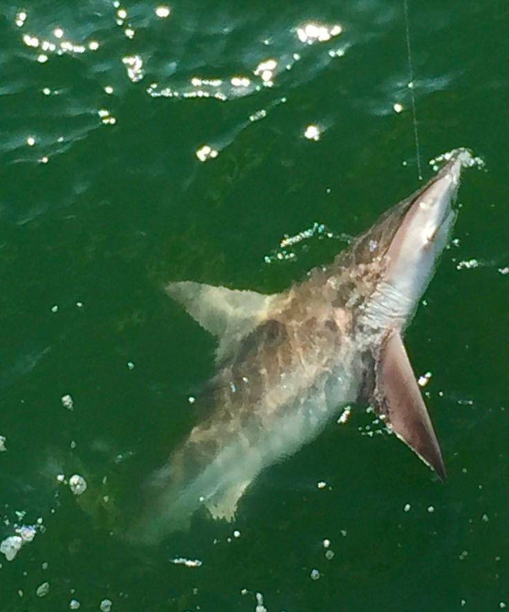Bull nose shark on pier gulf shores alabama fishing for Gulf shores alabama fishing