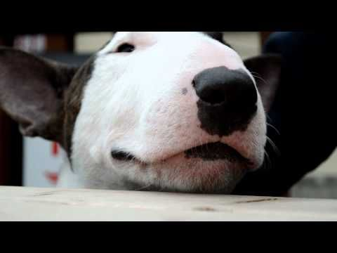 Henderson, talking bull terrier  (This is also why I LOVE them!)