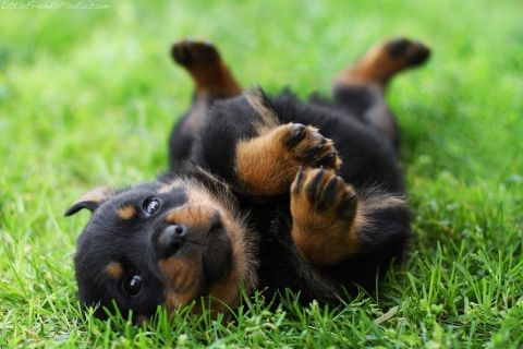 Baby rottweiler - this is so cute!  Little Friends photography