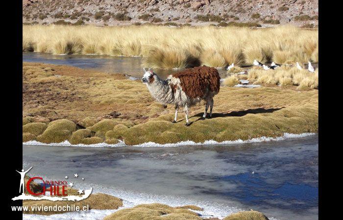 Llamas en Machuca Nevado