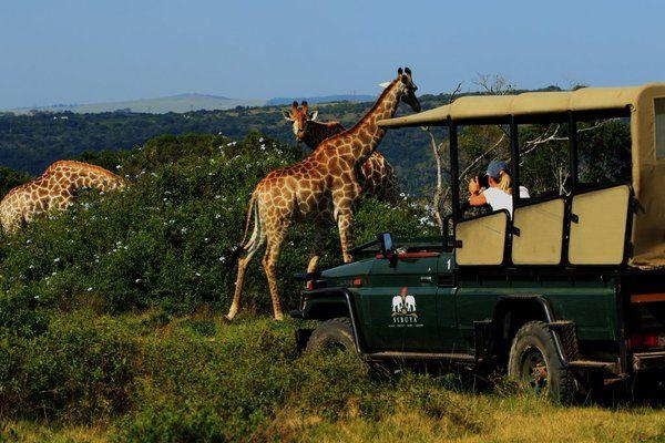 Guests enjoy a great sighting of the giraffes! www.sibuya.co.za