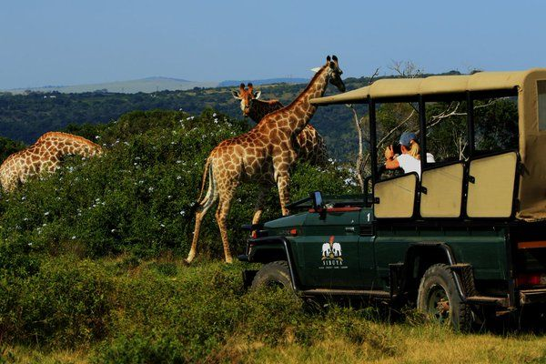 Guests enjoy a great sighting of the giraffes! www.sibuya.co.za