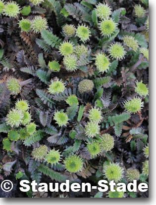 Staudenfoto zu Cotula (Leptinella) potentillina (Potentilla-Fiederpolster)