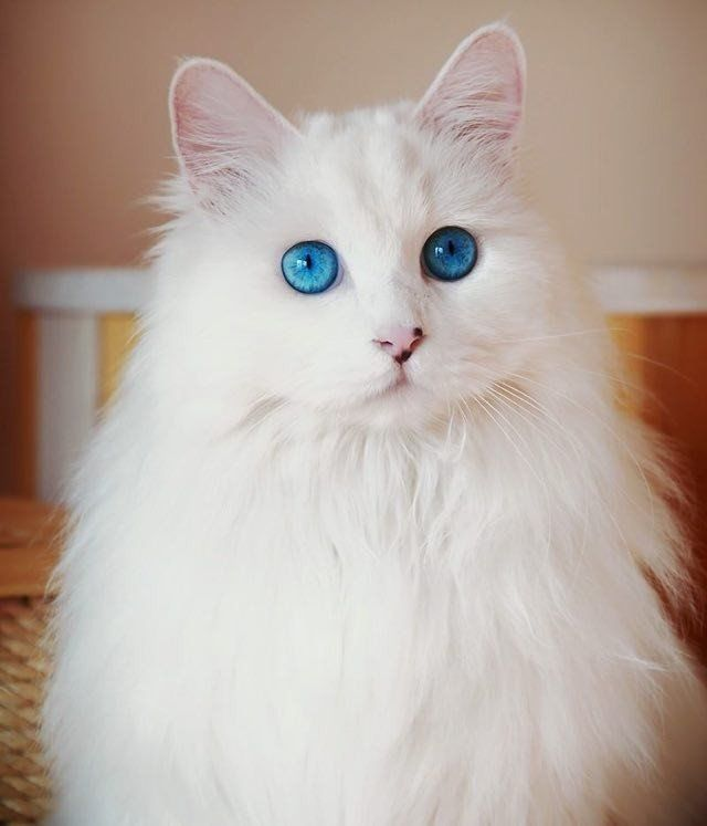 20 Best Names For White Cats With Blue Eyes Angora Cats Cat With Blue Eyes Beautiful Cats