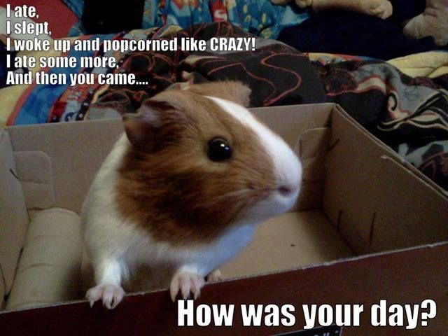 1699 best guinea pig cute images on pinterest guinea for Free guinea pig stuff