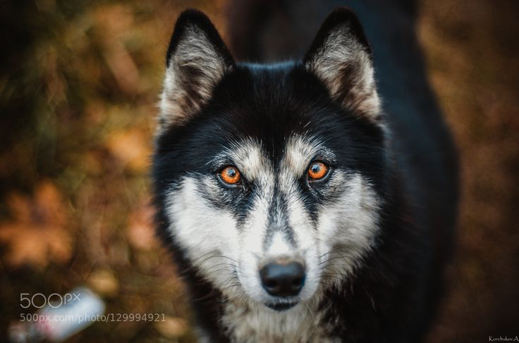 Янтарные глаза by korchukov39 #animals #pets #fadighanemmd