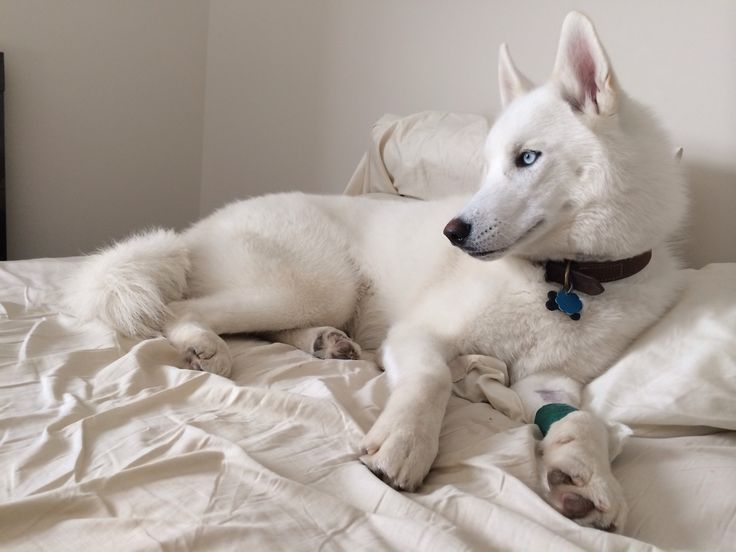 White husky. Looks exactly like my Mischa