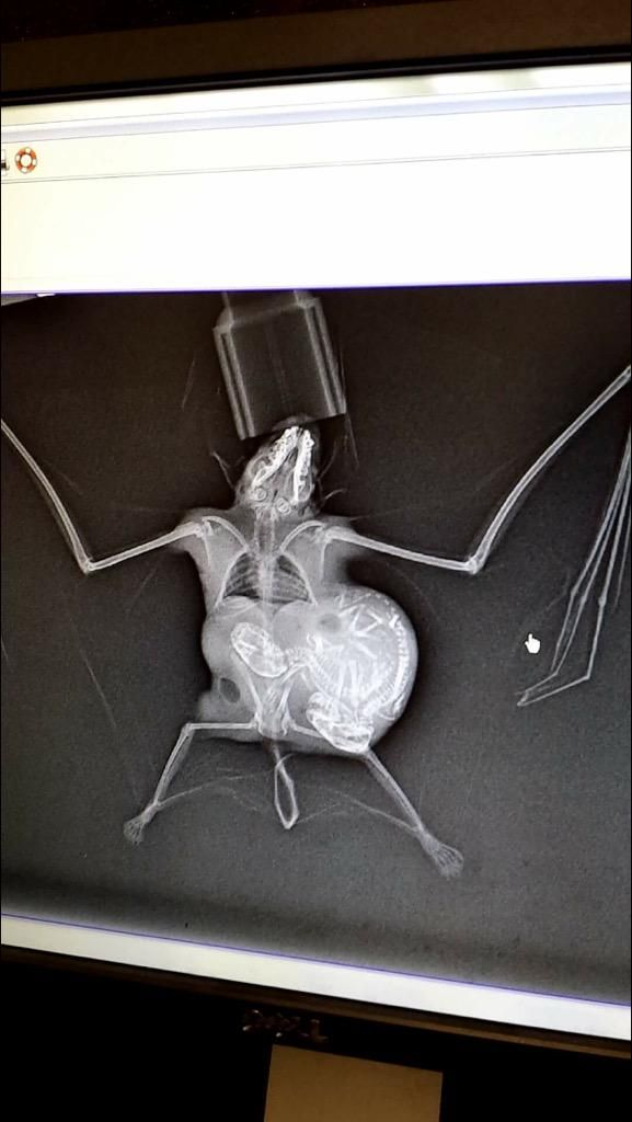 X-RaY oF a PReGNaNT BaT