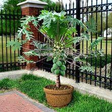 Semillas de frutas RARE10 + Semillas) Enano hovey Papaya Árbol Planta de Contenedores/Bonsai * EE.UU. Envío de la Cosechadora(China (Mainland))