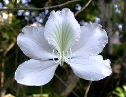 National flower of cuba: mariposa, butterfly flower