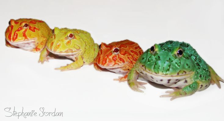 Ornate Pacman Frogs