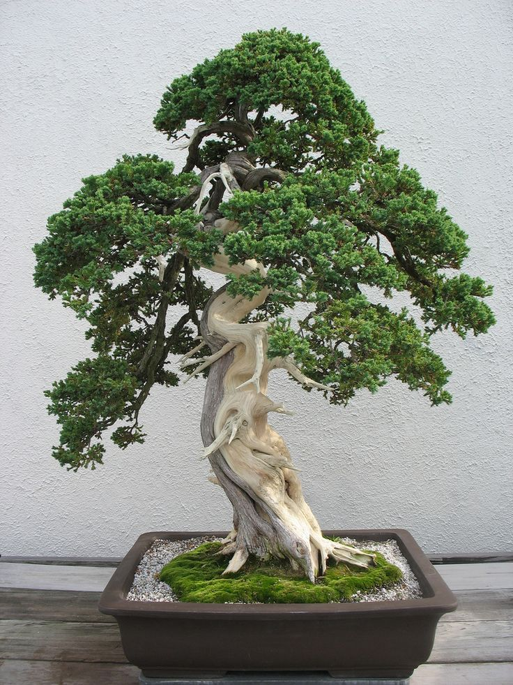 17 best images about bonsai on pinterest bonsai trees for Bonsai tree pics