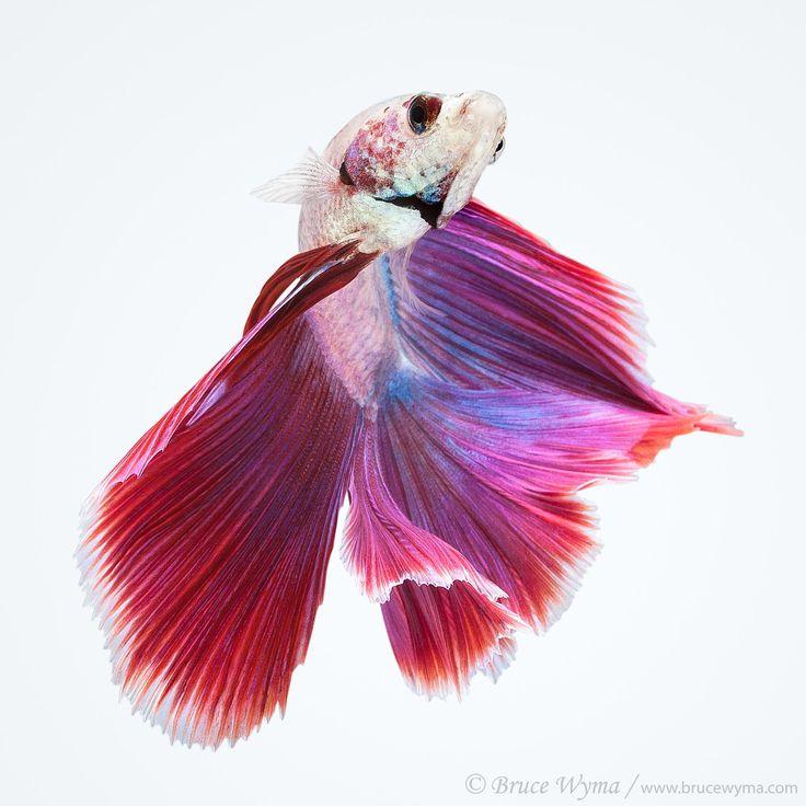 Halfmoon double tail betta beta pinterest photos for Betta fish together