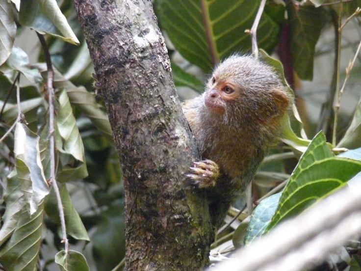 http://faaxaal.forumactif.com/t4678-photos-de-primate-ouistiti-pygmee-ouistiti-mignon-ouistiti-nain-cebuella-pygmaea-callithrix-pygmaea