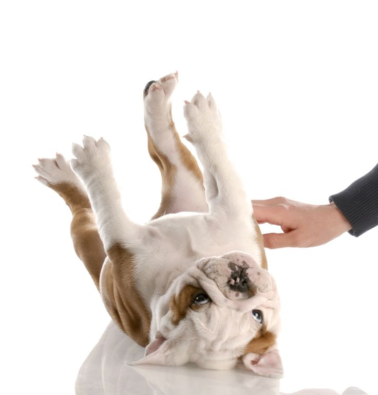 Happy!  A happy dog is one who gets lots of belly rubs and ear scratches.  When your dog associates with different people it has become well-socialized.  Always be gentle, even when he does a no-no. No hitting allowed. #dogs #dogshealth #dogslife