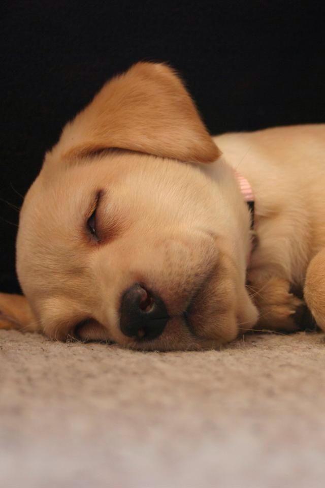 yellow lab puppy sleeping - photo #11