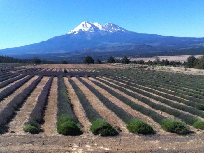 3. Mount Shasta Lavender Farms: The Beautiful Lavender Farm Hiding In Plain Sight
