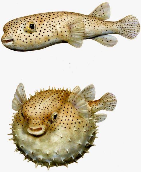 #13 El pez globo (o los cambios de peso) #lupus #peso #weight #fatiga #fatigue #dolor #pain