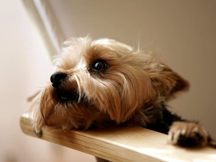 austrailian terrier