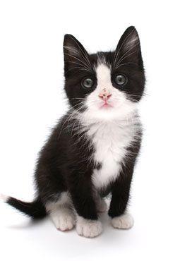 Tuxedo kitten -- ASPCA $100k Challenge #typeofcats - See more at Catsincare.com