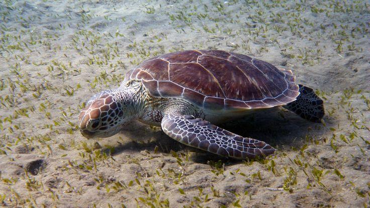 Sea turtle on a grass field at Marsa Abu Dabbab (Egypt)