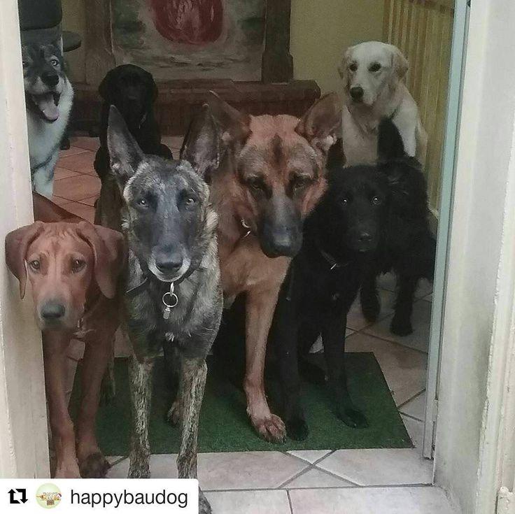 Gli ospiti dell'asilo per cani di @happybaudog non sono molto felici per la pioggia!  . . Iscrivi la tua attività per un repost! . .  No dai...hai visto come piove?...  #asilopercani #asilopercanimilano #asilocani #asilocanimilano #dog #dogs #doge #dogstagram #cane #happybau #happybaudog #happydog #happydogs #happybauurbandogresort #instadogmagazine #cani #italia #petstragram #pastoretedesco #piove #milano #meticcio #siberianhusky #packdogs