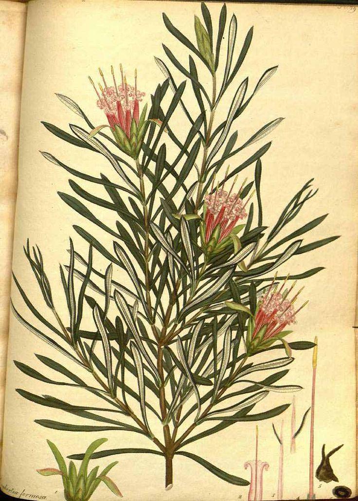 111300 Lambertia formosa Sm. var. longifolia / The botanist's repository [H.C. Andrews], vol. 1: t. 69  (1797-1798) [H.C. Andrews]