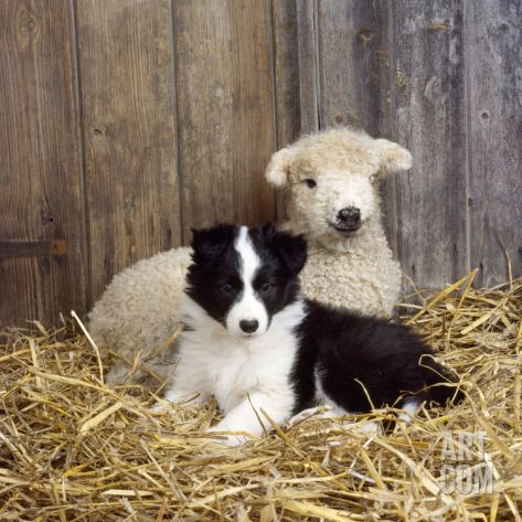 Border Collie Puppy with Lamb Photographic Print at Art.com