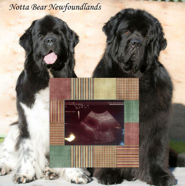Notta Bear Newfoundlands puppy announcement Newfoundland
