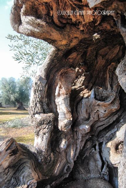 Olive tree. Ostuni. Puglia.  https://www.facebook.com/LucillaCumanPhotography