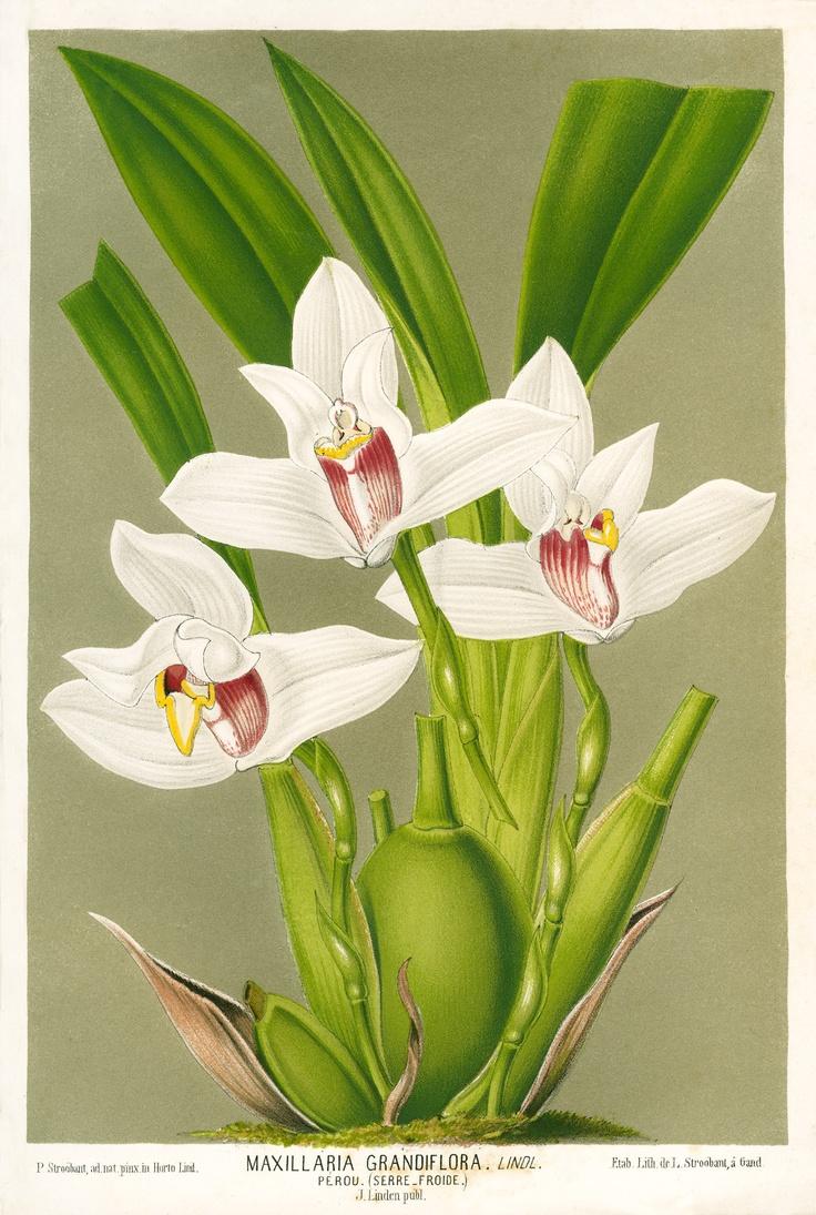 159 besten orchideen bilder auf pinterest zimmerpflanzen bonsai und garten pflanzen. Black Bedroom Furniture Sets. Home Design Ideas