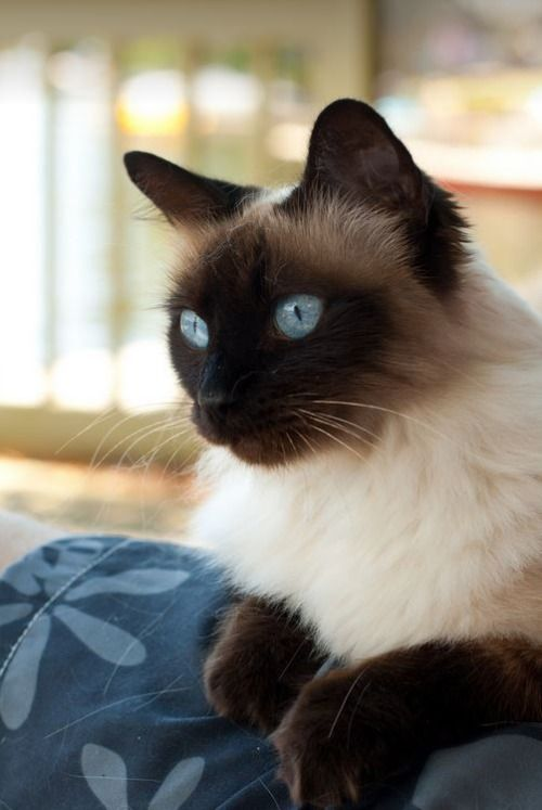 Believe this is a Balinese - long haired Siamese