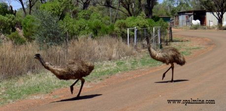 opal-fields-humor - They have some pretty big chooks at Yowah. Looks like some of em got out!!