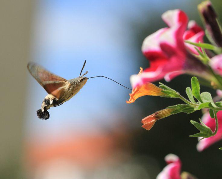 deutscher Kolibri Insekt Nektarsammler Taubenschwänzchen