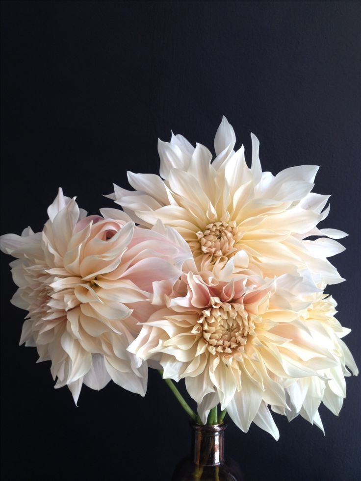 Stunning Cafe au lait dahlia, a little pricey but could be nice to have a few as show stopper flowers in the bouquets & on the arch