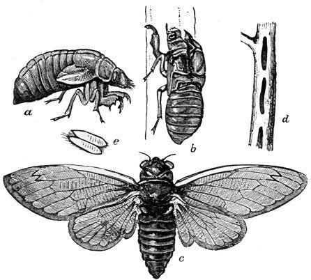 Cicada Bug picture
