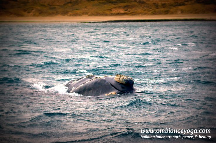 Friendly whales in Puerto Madryn, Argentina