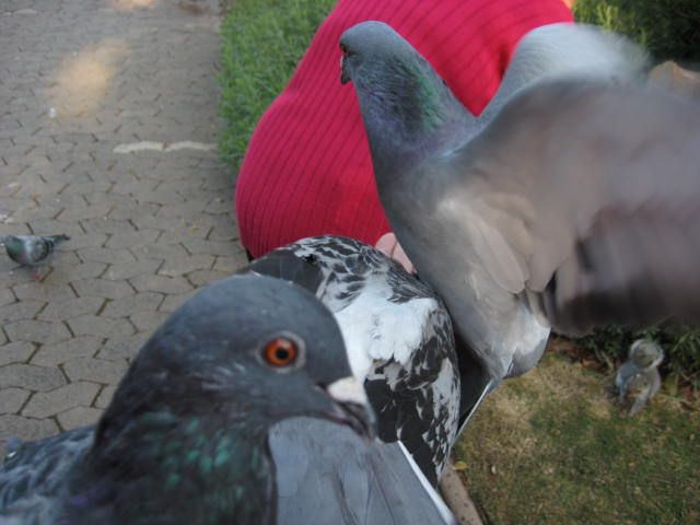 Pigeons sit on your hands and arms to get a snack  http://westerncapetravels.weebly.com/