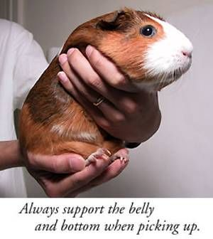 Again, I cannot fess how much I like to please my Guinea Pigs ( I'm sure you want to too ) and in my opinion, that starts at holding your Guinea pigs correctly.