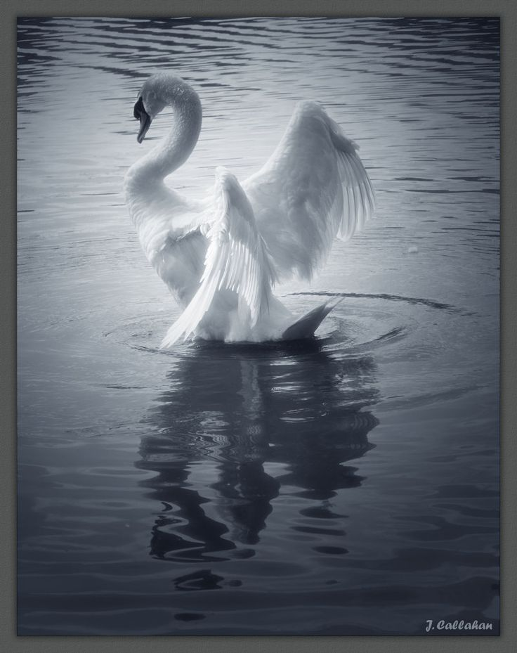 Swan in the puddle