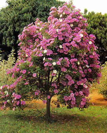 Manacá-da-serra ou primavera.   Deveria florir na primavera e verão, mas encontrei diversas floridas no inverno.