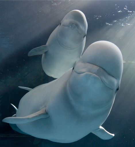 They're beautiful  ♥  Beluga Whales